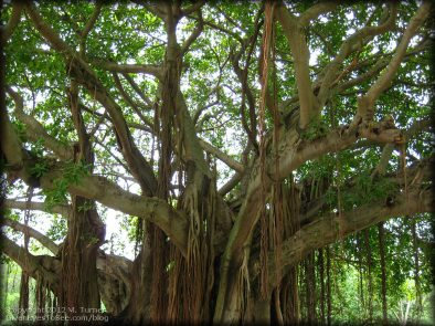 banyan-tree-april12a