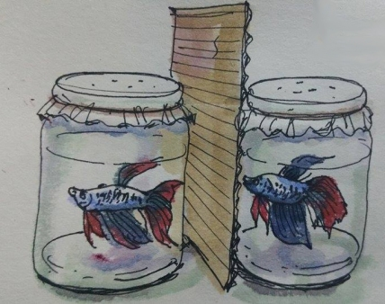 fighting fishes in jars_sm